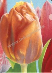 SH Tulpen